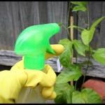 Cách trừ sâu vườn nhà bằng gừng, ớt, tỏi