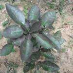 Cách trị bệnh bồ hóng trên cây bưởi