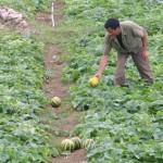 Hiệu quả kinh tế từ cây dưa bở