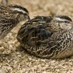 Bệnh bại liệt và đẻ non ở chim Cút - benh bai liet va de non 150x150
