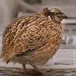 Bệnh cầu trùng ở chim Cút - benh cau trung o chim cut 150x150