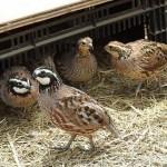 Bệnh CRD ở chim cút - benh crd o chim cut 150x150