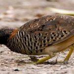 Bệnh mổ lông ở chim Cút - benh mo long o chim cut 1 150x150