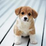 Bệnh thiếu hụt Canxi ở Chó