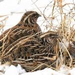 Bệnh thiếu Vitamin A ở chim Cút - benh thieu vitamin a o chim cut 150x150