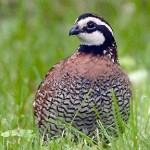 Bệnh thiếu Vitamin E ở chim Cút - benh thieu vitamin e o chim cut 150x150