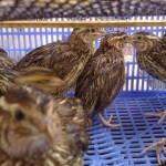 Bệnh thương hàn ở chim cút - benh thuong han o chim cut 150x150