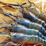 Bệnh vi khuẩn trên tôm càng xanh