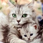 Bệnh vô sinh ở Mèo - benh vo sinh o meo 150x150