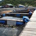 Các phương thức nuôi bào ngư - cac phuong thuc nuoi bao ngu 150x150