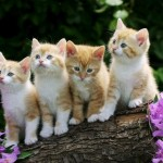 Cách chăm sóc Mèo con - P3 - cach cham soc meo con p3 150x150