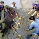 Cách khai thác và vận chuyển cá chình