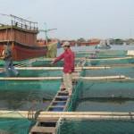 Cách nuôi cá chẽm trong lồng