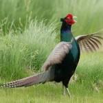 Cách phân biệt chim trĩ xanh mái - cach phan biet chim tri xanh mai 150x150
