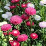 Cách phòng bệnh cho cây hoa