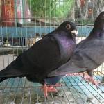 Cách phòng trị bệnh giun mắt ở chim bồ câu