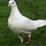 Cách phòng trị bệnh giun xoăn ở chim bồ câu