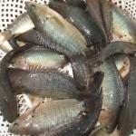 Cách phòng trị bệnh ở cá rô đồng - cach phong tri benh o ca ro dong 150x150