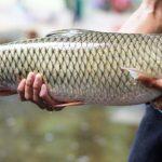 Cách phòng trị bệnh ở cá trắm cỏ - cach phong tri benh o ca tram co 1 150x150