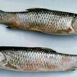 Cách phòng trị bệnh ở cá trắm cỏ