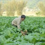 Cách phòng trừ bệnh thối gốc ở cây thuốc lá - cach phong tru benh thoi goc o cay thuoc la 150x150