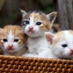 Cách trị bệnh búi lông ở Mèo