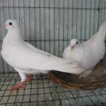 Cách trị bệnh cầu trùng ở chim bồ câu