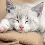 Cách trị bệnh tiểu đường ở Mèo - cach tri benh tieu duong o meo 150x150