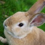 Cách trị bệnh xuất huyết ở Thỏ