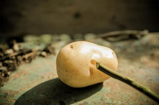 Cách trồng hoa hồng tại nhà bằng khoai tây - cachtronghoahongbangcukhoaitay 2