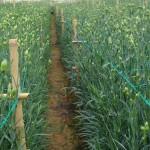 Trồng hoa cẩm chướng thu tiền tỷ mỗi năm - camchuong11 150x150