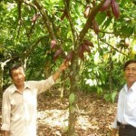 Trồng Cacao xen trong vườn nhãn