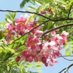 Cây Muồng hoa đào