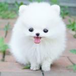 Chó Pomeranian (Phốc Sóc) - cho pomeranian phoc soc 150x150