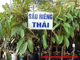 Kỹ thuật nhân giống cây Sầu Riêng - ghep sau rieng