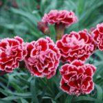 Hoa Cẩm Chướng - hoa cam chuong 1 150x150