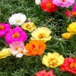 Kỹ thuật trồng và chăm sóc hoa mười giờ - hoa muoi gio my 150x150