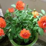 Kỹ thuật trồng hoa hồng tỉ muội - hongphap 150x150