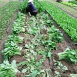 Cách bảo quản rau sau thu hoạch