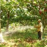 Mô hình trồng ca cao xen dừa