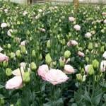 Mô hình trồng hoa cát tường Sa Đéc