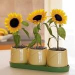 Kỹ thuật trồng hoa hướng dương trong nhà