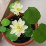 Kĩ thuật trồng hoa sen mini tại nhà