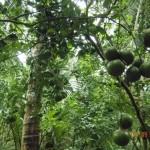 Mô hình trồng ổi Đài Loan xen canh dừa xiêm
