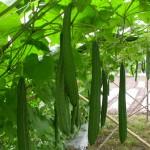 Kỹ thuật trồng Mướp Khía