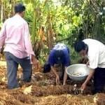 Mô hình trồng Nấm Rơm làm giàu