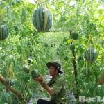 Kĩ thuật trồng Dưa hấu leo giàn - jpg73 150x150