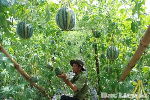 Kĩ thuật trồng Dưa hấu leo giàn - jpg73 500x335