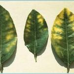 Nhận biết cây thiếu dinh dưỡng qua lá