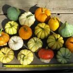 Cách trồng và chăm sóc bí ngô mini